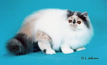 GC Velvetkist Bella of Serafinaz, Persian