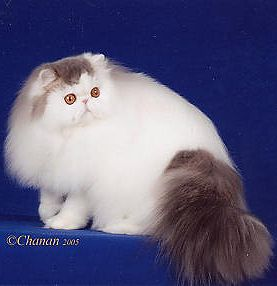 GC, RW Parti Wai No Regrets of Serafinaz,  Blue tabby and white male Persian