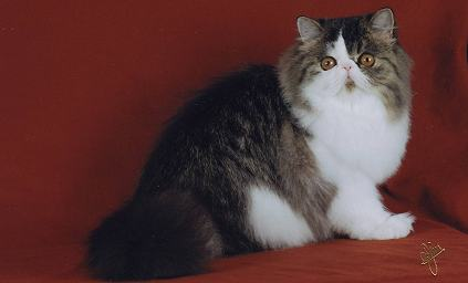 CH Seder Rennes Destiny of Serafinaz, Brown mackerel tabby and white female Persian